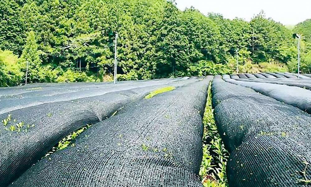 以黑色紗網阻擋日曬,以保持鮮爽口感的覆蓋茶園 (圖片為日本KIRIN生茶園實景)